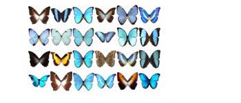 Скачать Morpho Butterfly