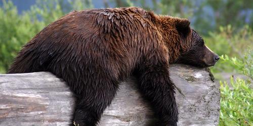 Перейти на Grizzly Bear