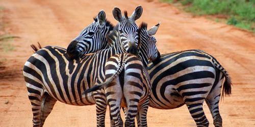 Перейти на Zebras, Kenya