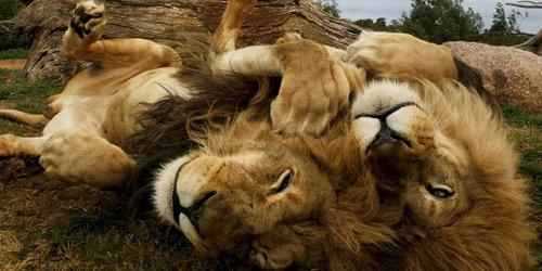 Перейти на Lion Brothers, Australia