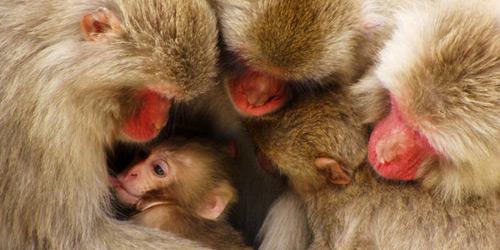 Перейти на Macaque Family, Japan
