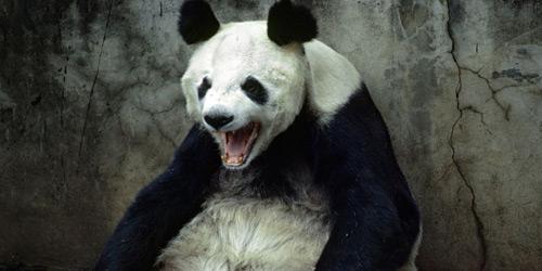 Перейти на Panda Yawning, Kunming, China