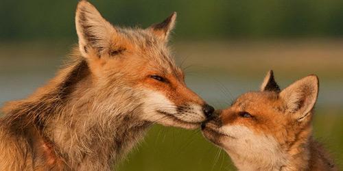 Перейти на Red Foxes, Delaware