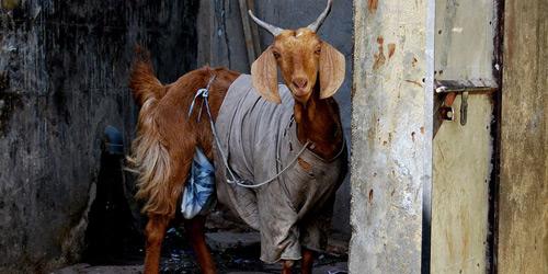 Перейти на Goat, North India