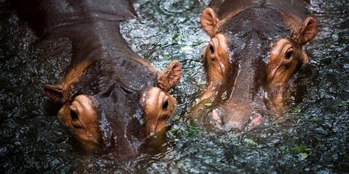 Перейти на Hippopotamuses