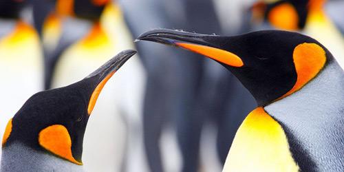 Перейти на King Penguins, Falkland Islands