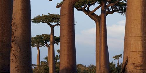 Перейти на Baobab Trees, Madagascar