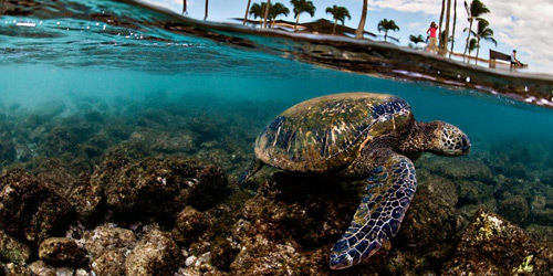 Перейти на Green Sea Turtle, Hawaii