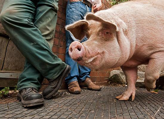 Перейти на Welsh Pig Exhibit