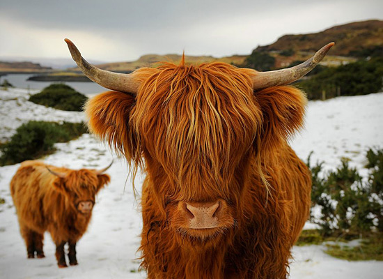 Перейти на Highland Cattle Scotland