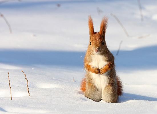Перейти на Red Squirrel Snow Poland