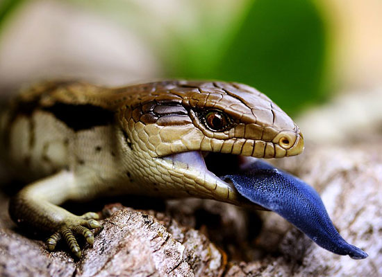 Перейти на Blue-Tongued Lizard, Australia