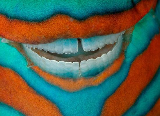 Перейти на Parrotfish, Great Barrier Reef