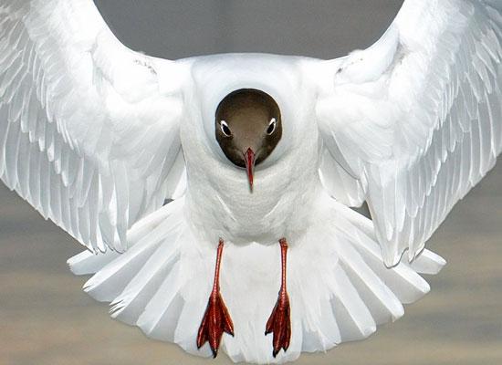Перейти на Black-Headed Gull, England
