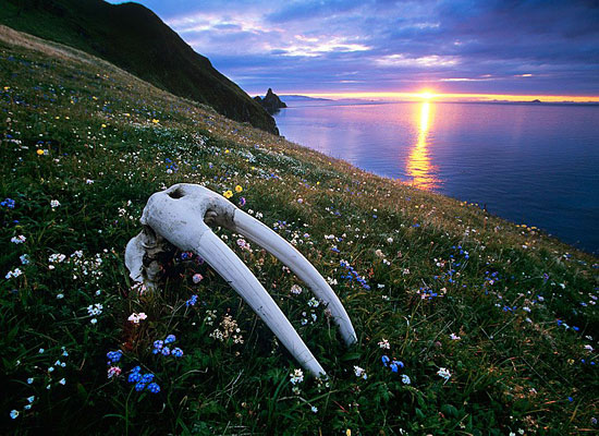Перейти на Walrus Skull, Bristol Bay