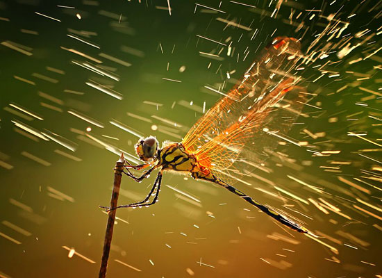 Перейти на Dragonfly, Indonesia