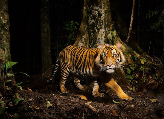 Перейти на Tiger, Indonesia