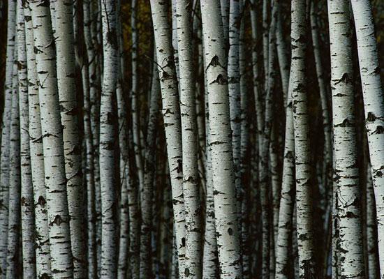 Перейти на White Birch Trees