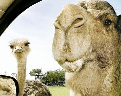 Перейти на Camel and ostrich
