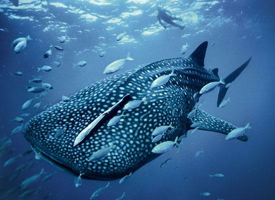Blue Whaleshark Skerry