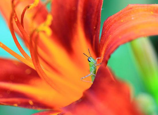 Grasshopper Flower Color
