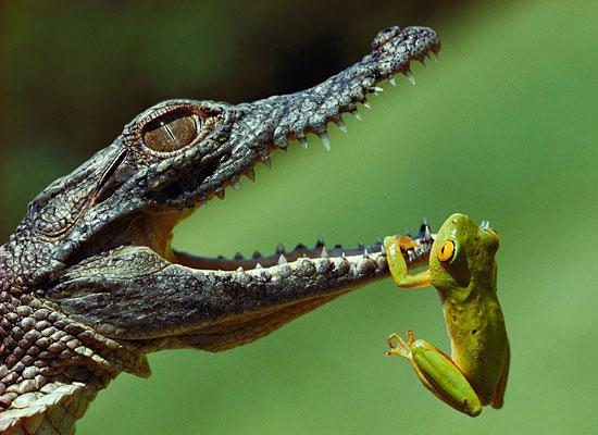 Frog Mouth Crocodile Blair