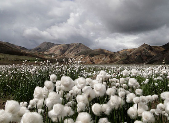 Cotton Grass Iceland