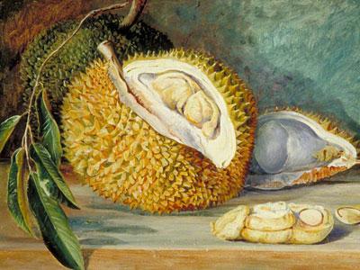 Перейти на Durian Fruit From A Large Tree Sarawak Borneo