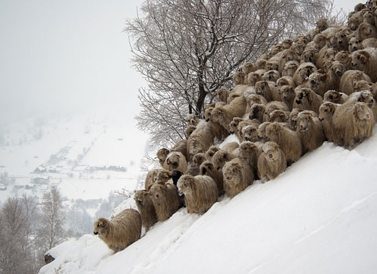 Перейти на Sheep In Winter