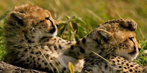 Перейти на Cheetahs, Kenya