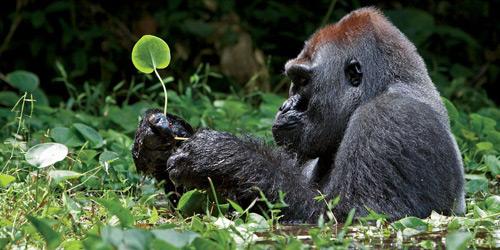 Перейти на Silverback Gorilla, Africa