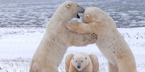 Перейти на Polar Bears Playing