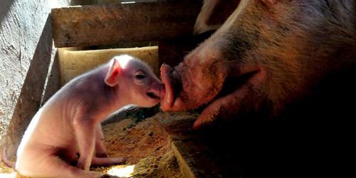 Перейти на Pig and Piglet, Africa
