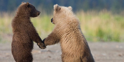 Перейти на Grizzly Bear Cubs