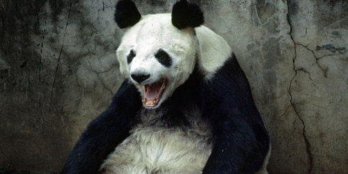 Перейти на Panda Yawning, Kunming, China