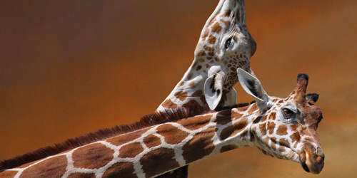 Перейти на Giraffe Mother and Calf