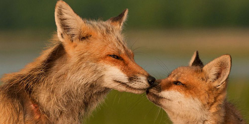 Перейти на Red Foxes, Delaware
