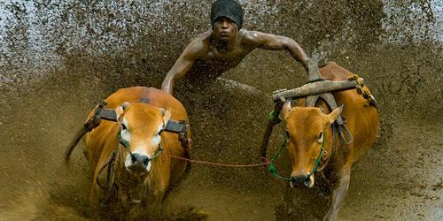 Перейти на Pacu Jawi Cow039s Race
