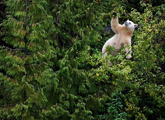 Перейти на Kermode Bear Tree