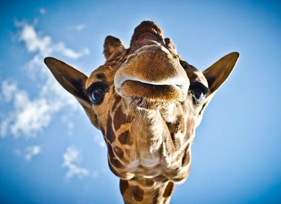 Перейти на Giraffe Mexico