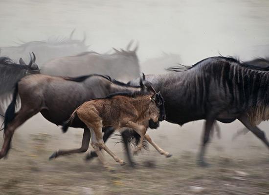 Перейти на Wildebeest Tanzania