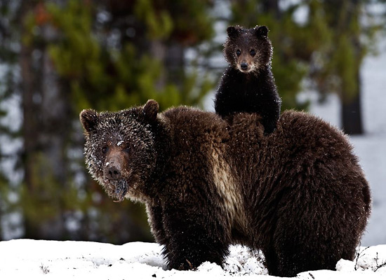 Перейти на Grizzly Bear Cub Snow