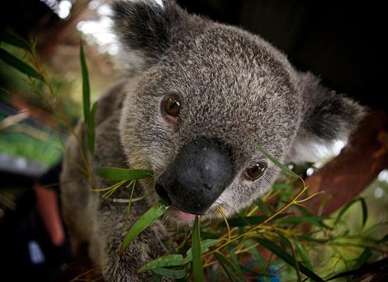Перейти на Koala Bear Australia