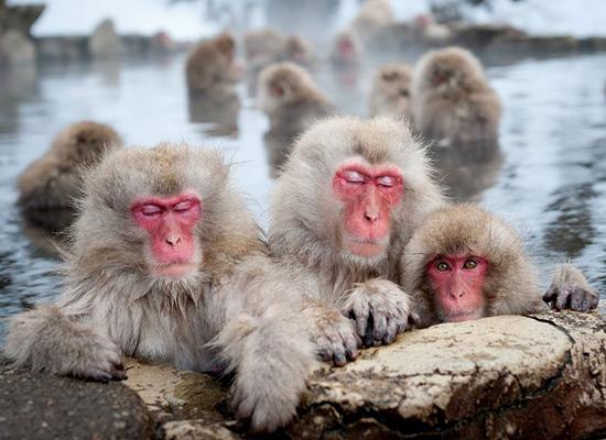 Перейти на Japanese Macaques Nagano
