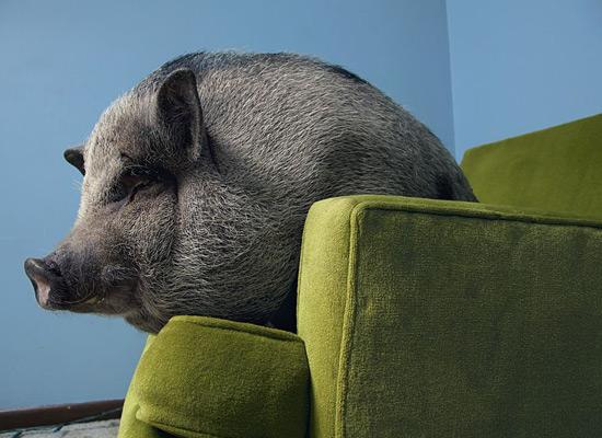 Перейти на Pig Minnesota