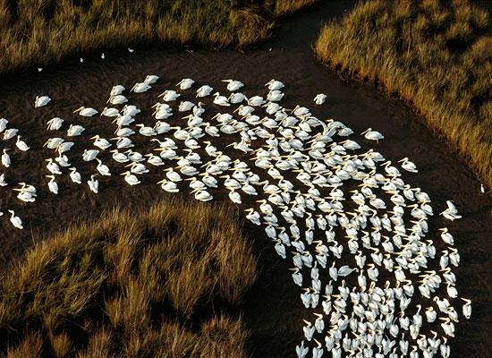 Перейти на White Pelicans, Mississippi