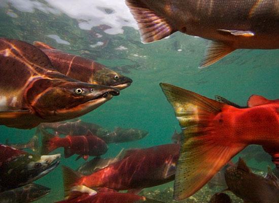 Перейти на Pacific Salmon
