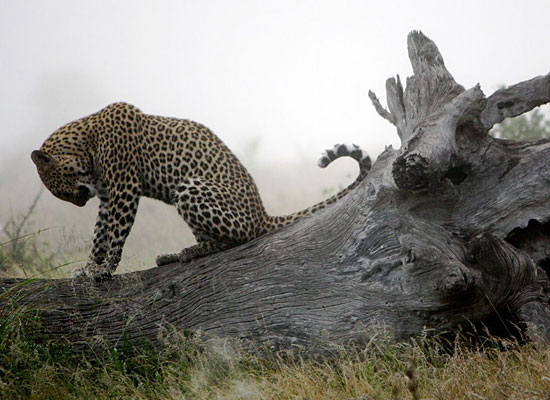 Перейти на Leopard, South Africa