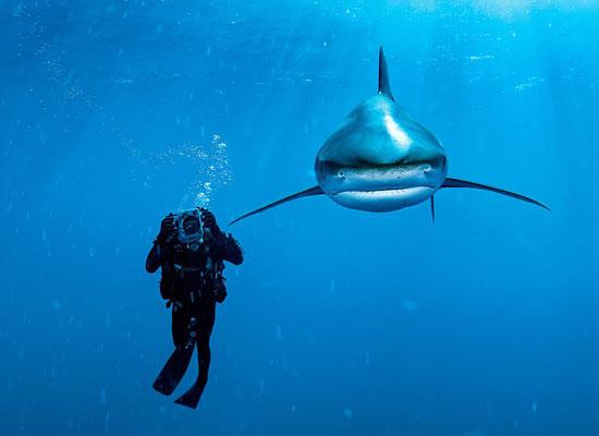 Перейти на Oceanic Whitetip Shark, Bahamas