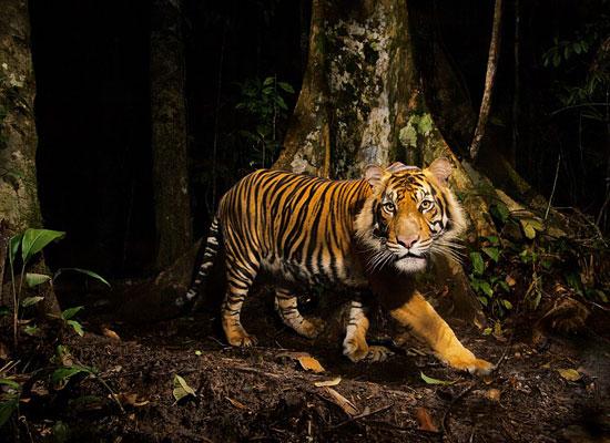 Перейти на Tiger, Indonesia
